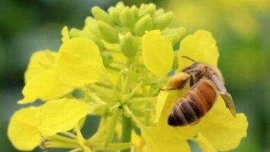 Photo of भोजन का एक तिहाई भाग मधुमक्खी द्वारा परागित फसलों से